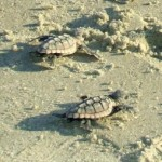 Turtle - Loggerheads CR